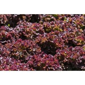 Lolla Rosso Darky Leaf Lettuce Seed   By The Pound: Patio
