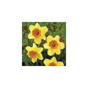 8 Narcissus Masked Light Daffodil Flower Bulbs Patio