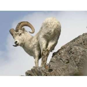 Alaska, Anchorage, Precarious Perch: 50,000 Dall Sheep Call Alaska