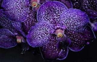 Vanda Pures Wax (Blue) Hybrid Orchid Plant