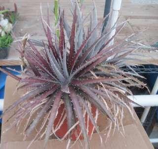 Dyckia fosteriana Purple Leaf Tops, White Striped Leaf Bottoms Extra