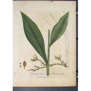 com Amomum Repens Cardamomum Flora Fauna Flower Print Home & Kitchen