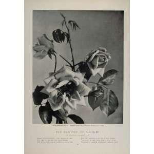 Reve dOr Yellow Noisette Rose O. V. Lange   Original Halftone Print