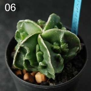 Astrophytumb Myriostigma FUKURYU  Coral form special  06 / cactus