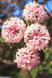 Dais cotinifolia SEED Pink pompom flowers small tree