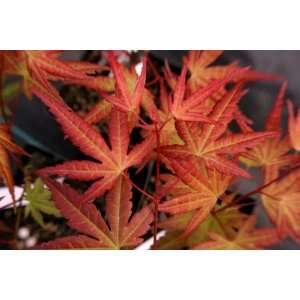 Coral Magic Japanese Maple 1   Year Graft Patio, Lawn